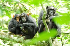 chimpanzee tracking-kibale forest