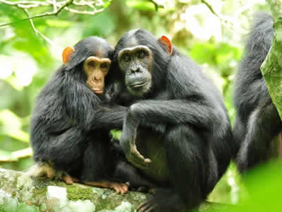 Kibale national park Chimpanzee tracking