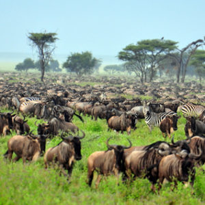 East Africa Beestemigration