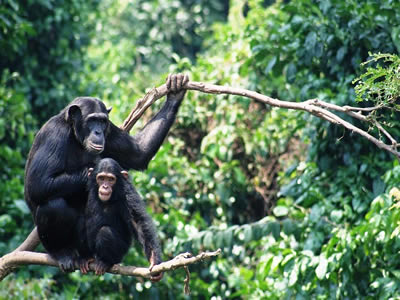 Gombe-Chimpanzee Tracking