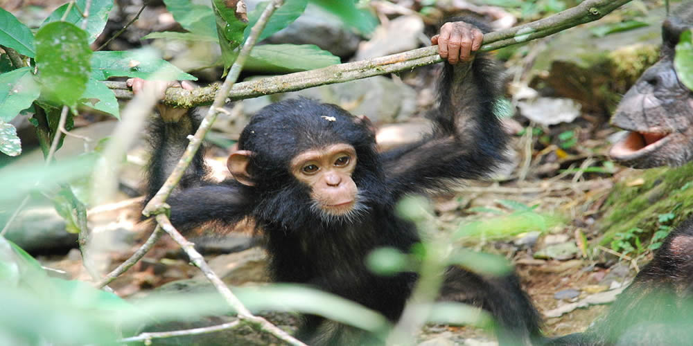 Gombe National Park-Chimpanzee