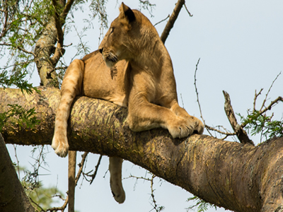tree climbing lions self drive safari